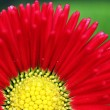 Close Up Red Flower — Stock Photo