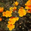 California Poppies In Bloom — Stock Photo