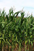 Corn Field Ready For Harvest — Stock Photo