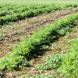 Foto de Stock  : Field Of Carrots