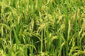 Rice In The Field — Stock Photo