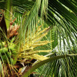 Coconuts In A Tree — Stock Photo