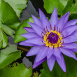 Bloom violet  lotus — Stock Photo
