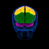 Colored sections of a human brain-cerebrum - back view — Stock Photo
