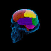 Colored sections of a human brain-cerebrum - sdie view — Stock Photo