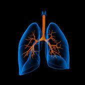 3d medicinsk illustration - lungorna med synliga luftröret-bakifrån — Stockfoto