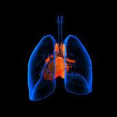 Medikal illüstrasyon - görünür kalp ile akciğer - arkadan görünüm — Stok fotoğraf