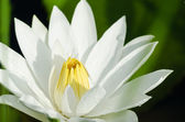 Bloom White lotus — Photo