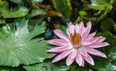 Bloom Pink lotus — Photo