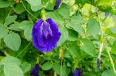 Butterfly pea flower — Stock Photo