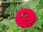 Close up of pink zinnias — Stock Photo