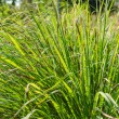 Stock Photo: Lemon grass plant