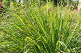Lemon grass plant — Stock Photo