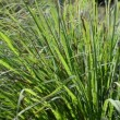Stock Video: Lemongrass (Cymbopogon citratus (DC.) Stapf).