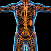 Lymphatic system - front view — Stock Photo
