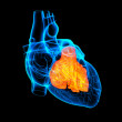 3d render Heart atrium - front view — Stock Photo #35159493