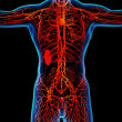 Red  lymphatic system - front view — Stock Photo