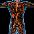 Orange lymphatic system - front view — Stock Photo