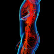 3d render red lymphatic system - side view — Stock Photo