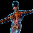 ������, ������: 3d render orange lymphatic system back view