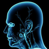 The blue Lymphatics of the Head - side view — Foto Stock