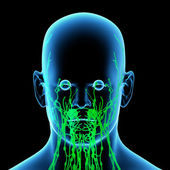 3d render green lymphatic system - front view — Stock Photo