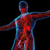 3d Render rot lymphatische System - Ansicht von unten — Stockfoto