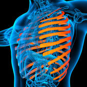 3d rendered illustration of the rib cage - side view — Stock Photo