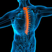 Thoracic spine anatomy -back view — Stock Photo