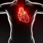 Işlenmiş medikal illüstrasyon insan kalp — Stok fotoğraf