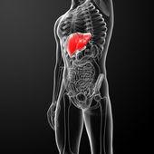 Sistema digestivo humano hígado rojo coloreado - vista frontal — Foto de Stock