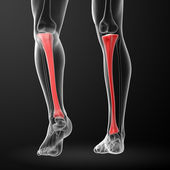3d render illustration tibia - back view — Stock Photo
