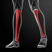 3d render illustration tibia - front view — Stock Photo