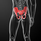 Illustration of human pelvis — Stock Photo