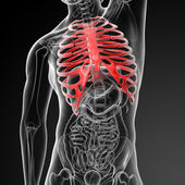 3d render illustration of the rib cage — Stock Photo