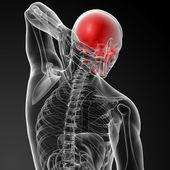Human skull - side view — Stock Photo
