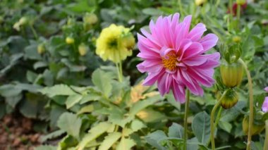 Pink dahlia flowers — Stockvideo