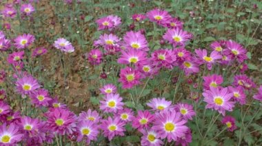 Pink chrysanthemums — Stok video