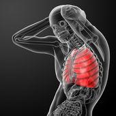 Menschlichen atemwege in x-ray-lunge-seitenansicht — Stockfoto
