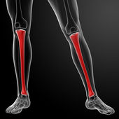 3d render human tibia — Stock Photo