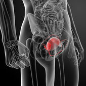 3d render bladder anatomy — Stock Photo