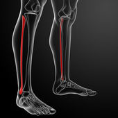 3d rendered illustration - fibular — 图库照片
