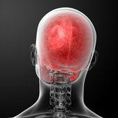 3d render human skull anatomy — Stock Photo