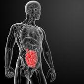 Human digestive system small intestine — Stock Photo