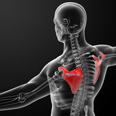 3d render illustration scapula bone  — Stock Photo