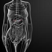 Female adrenal anatomy x-ray — ストック写真