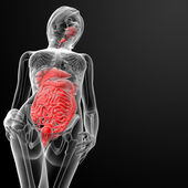 3d render female digestive system — Stock Photo