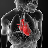 3d визуализации женской анатомии - сердце — Стоковое фото