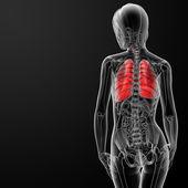 3d render female respiratory anatomy — ストック写真