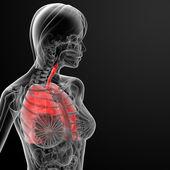 3d render female respiratory anatomy — Stock Photo